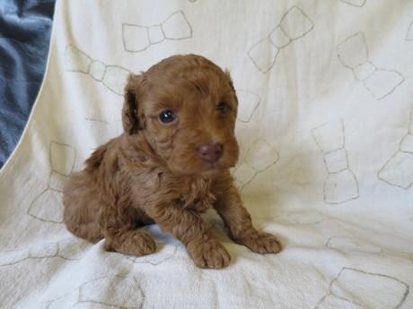 トイプードルの子犬(ID:1253411084)の2枚目の写真/更新日:2017-02-25