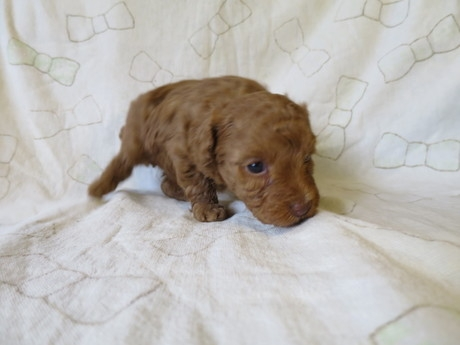 トイプードルの子犬(ID:1253411084)の3枚目の写真/更新日:2017-02-25