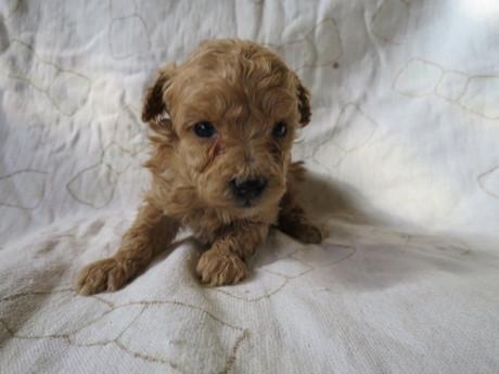 トイプードルの子犬(ID:1253411085)の1枚目の写真/更新日:2017-02-25
