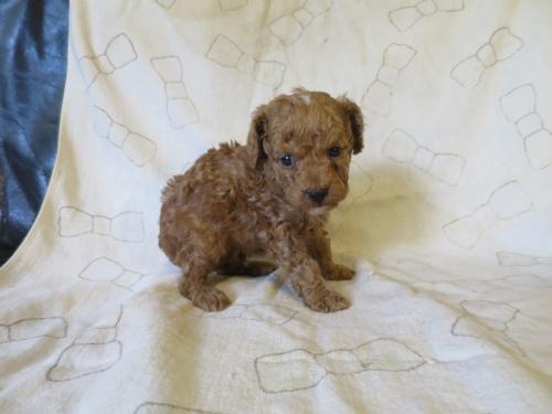 トイプードルの子犬(ID:1253411085)の2枚目の写真/更新日:2018-12-03
