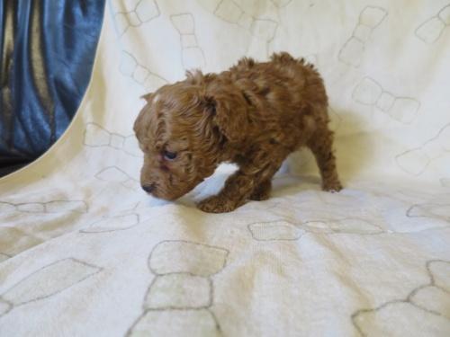 トイプードルの子犬(ID:1253411085)の3枚目の写真/更新日:2018-12-03