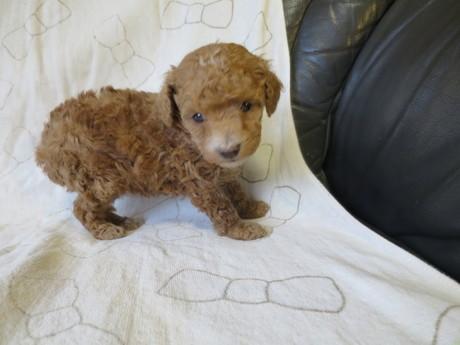 トイプードルの子犬(ID:1253411086)の1枚目の写真/更新日:2017-03-06