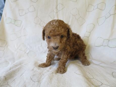 トイプードルの子犬(ID:1253411086)の2枚目の写真/更新日:2017-03-06