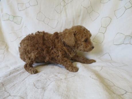 トイプードルの子犬(ID:1253411086)の3枚目の写真/更新日:2017-03-06