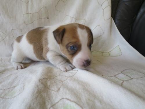 ジャックラッセルテリアの子犬(ID:1253411087)の2枚目の写真/更新日:2017-03-08