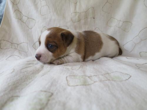 ジャックラッセルテリアの子犬(ID:1253411087)の3枚目の写真/更新日:2017-03-08