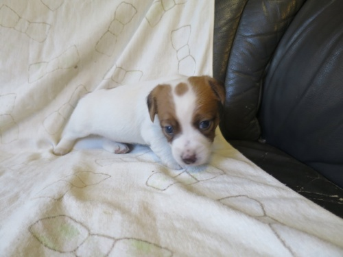ジャックラッセルテリアの子犬(ID:1253411088)の1枚目の写真/更新日:2017-03-08