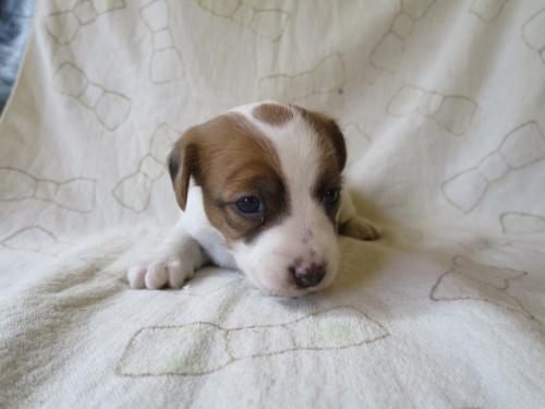 ジャックラッセルテリアの子犬(ID:1253411088)の3枚目の写真/更新日:2017-03-08