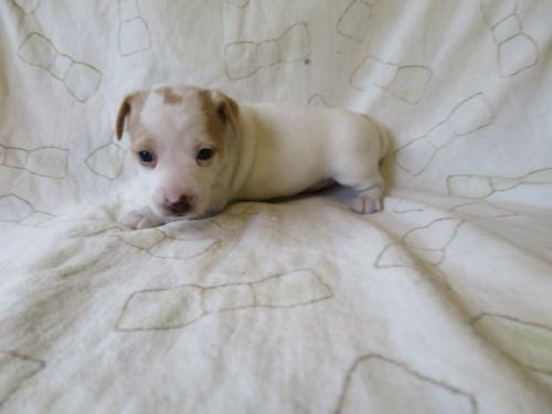 ジャックラッセルテリアの子犬(ID:1253411089)の1枚目の写真/更新日:2017-03-08