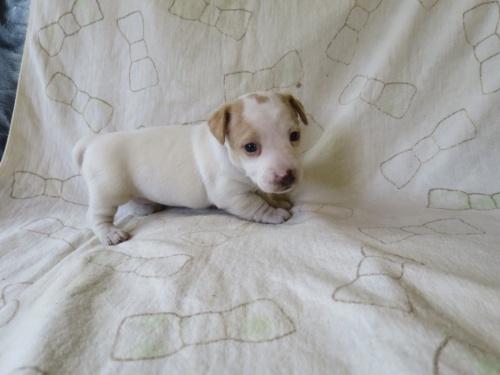 ジャックラッセルテリアの子犬(ID:1253411089)の2枚目の写真/更新日:2017-03-08