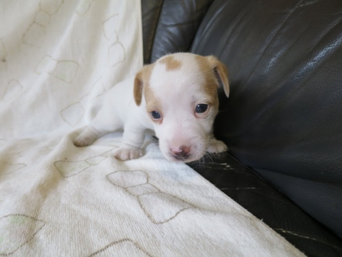 ジャックラッセルテリアの子犬(ID:1253411089)の3枚目の写真/更新日:2017-03-08