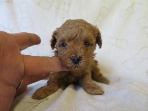 トイプードルの子犬(ID:1253411090)の1枚目の写真/更新日:2017-05-01