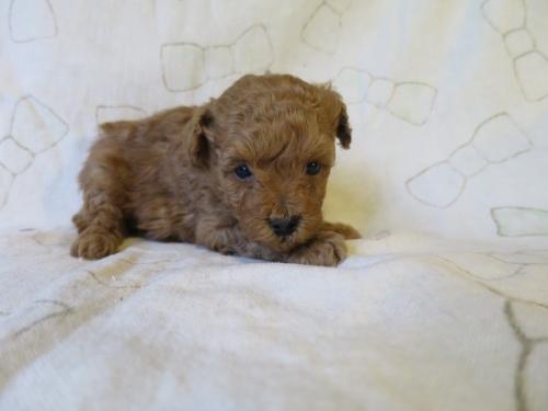トイプードルの子犬(ID:1253411090)の2枚目の写真/更新日:2017-05-01