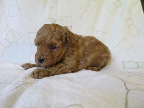 トイプードルの子犬(ID:1253411090)の3枚目の写真/更新日:2017-05-01