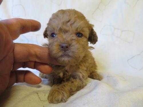 トイプードルの子犬(ID:1253411091)の1枚目の写真/更新日:2017-05-01