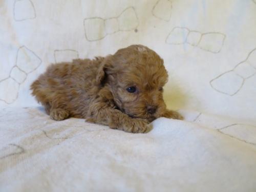 トイプードルの子犬(ID:1253411091)の2枚目の写真/更新日:2017-05-01