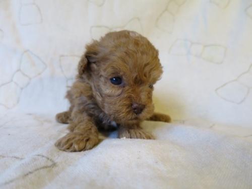 トイプードルの子犬(ID:1253411091)の3枚目の写真/更新日:2017-05-01