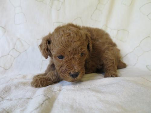 トイプードルの子犬(ID:1253411092)の2枚目の写真/更新日:2017-05-01