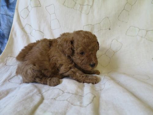 トイプードルの子犬(ID:1253411092)の3枚目の写真/更新日:2017-05-01