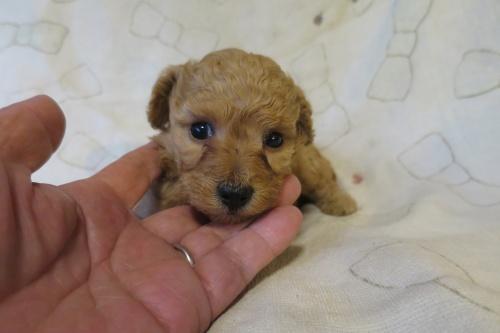 トイプードルの子犬(ID:1253411093)の1枚目の写真/更新日:2017-05-06