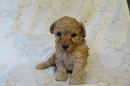 トイプードルの子犬(ID:1253411093)の2枚目の写真/更新日:2017-05-06