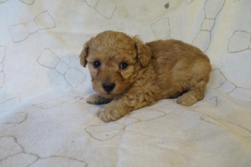 トイプードルの子犬(ID:1253411093)の3枚目の写真/更新日:2017-05-06