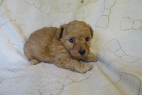 トイプードルの子犬(ID:1253411093)の4枚目の写真/更新日:2019-06-10