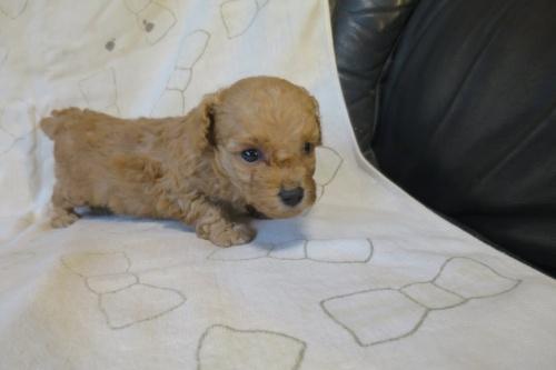 トイプードルの子犬(ID:1253411094)の1枚目の写真/更新日:2019-06-10