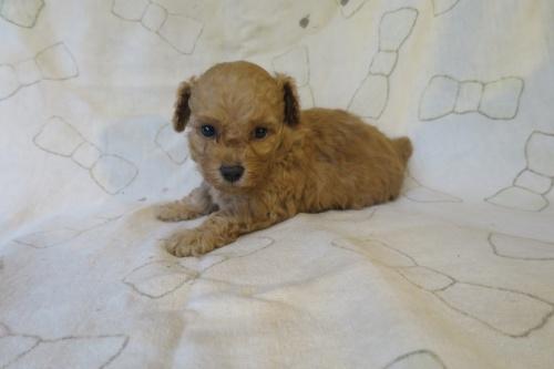 トイプードルの子犬(ID:1253411094)の3枚目の写真/更新日:2017-05-06
