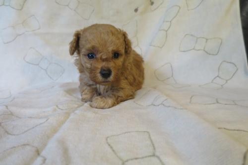 トイプードルの子犬(ID:1253411094)の4枚目の写真/更新日:2019-06-10