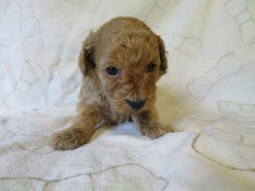 トイプードルの子犬(ID:1253411095)の1枚目の写真/更新日:2017-05-15