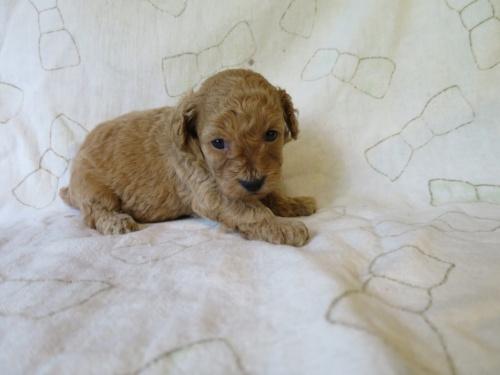 トイプードルの子犬(ID:1253411095)の2枚目の写真/更新日:2017-05-15
