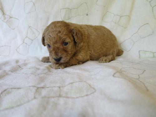 トイプードルの子犬(ID:1253411095)の3枚目の写真/更新日:2017-05-15