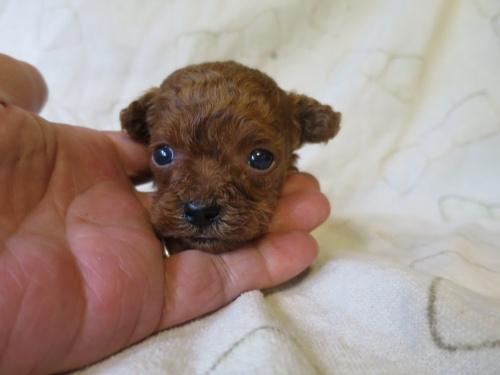 トイプードルの子犬(ID:1253411097)の1枚目の写真/更新日:2017-05-15