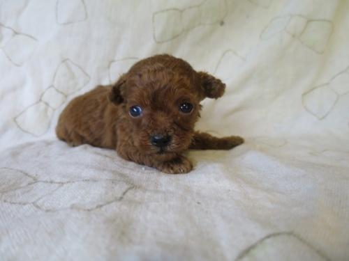 トイプードルの子犬(ID:1253411097)の2枚目の写真/更新日:2017-05-15