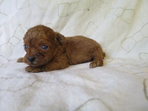 トイプードルの子犬(ID:1253411097)の3枚目の写真/更新日:2017-05-15