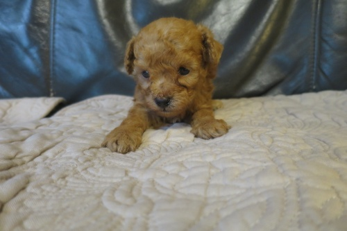 トイプードルの子犬(ID:1253411098)の1枚目の写真/更新日:2017-05-20