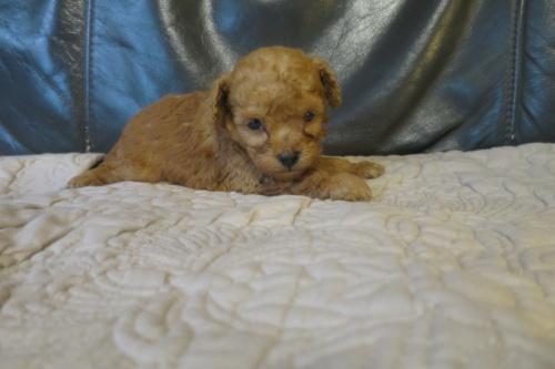 トイプードルの子犬(ID:1253411098)の2枚目の写真/更新日:2017-05-20