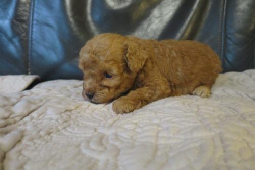 トイプードルの子犬(ID:1253411098)の3枚目の写真/更新日:2017-05-20