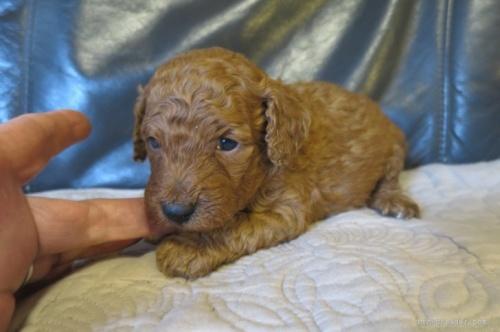 トイプードルの子犬(ID:1253411099)の2枚目の写真/更新日:2017-05-20