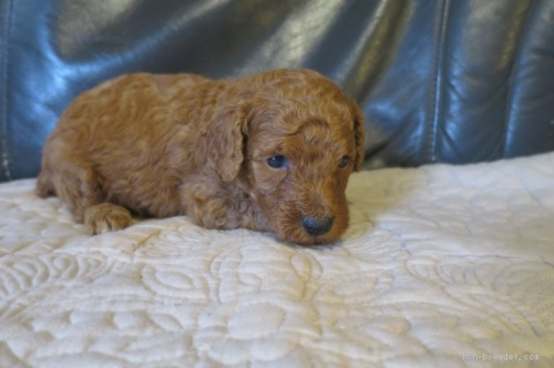 トイプードルの子犬(ID:1253411099)の3枚目の写真/更新日:2017-05-20