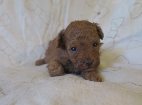 トイプードルの子犬(ID:1253411100)の1枚目の写真/更新日:2017-09-25