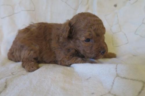 トイプードルの子犬(ID:1253411100)の2枚目の写真/更新日:2017-09-25