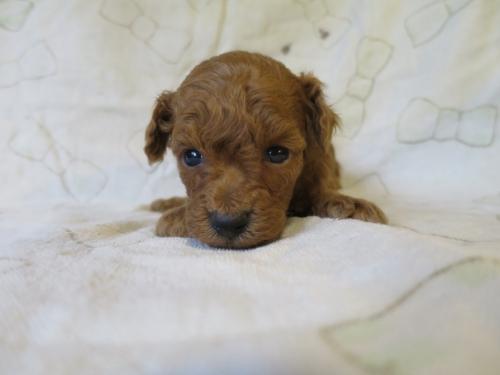 トイプードルの子犬(ID:1253411101)の1枚目の写真/更新日:2017-09-25