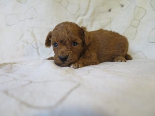 トイプードルの子犬(ID:1253411101)の2枚目の写真/更新日:2017-09-25