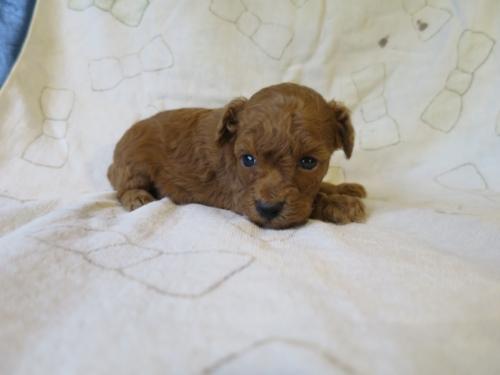 トイプードルの子犬(ID:1253411101)の3枚目の写真/更新日:2017-09-25