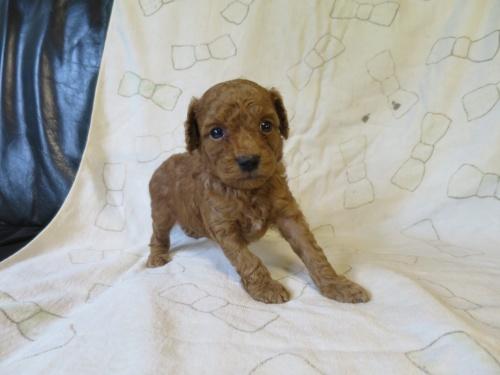 トイプードルの子犬(ID:1253411102)の1枚目の写真/更新日:2017-09-25
