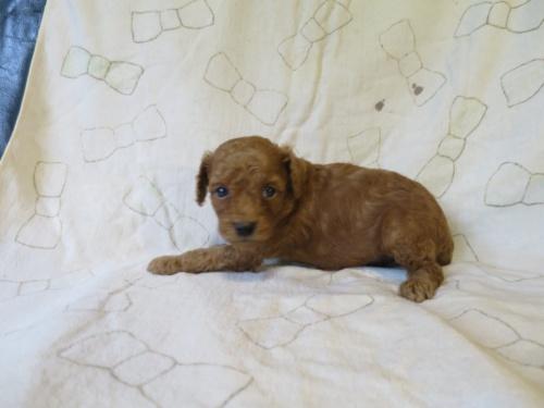 トイプードルの子犬(ID:1253411102)の2枚目の写真/更新日:2017-09-25