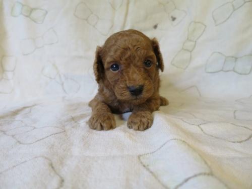 トイプードルの子犬(ID:1253411102)の3枚目の写真/更新日:2017-09-25