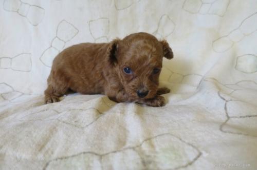 トイプードルの子犬(ID:1253411103)の2枚目の写真/更新日:2017-09-25